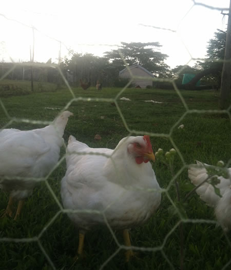 cornish_cross_chickens_white
